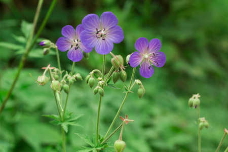 anthers: Violet flowers Geranium pratense or meadow geranium in green field. Meadow cranes-bill flowers selective focus