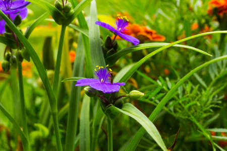 Violet flowers with yellow anthers Tradescantia in summer garden. Small Hoverfly on flower, side view Stock Photo