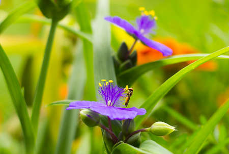 Small Hoverfly on violet flower Tradescantia side view