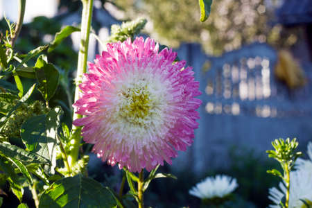 Bicolor pink and white Aster flower grow in summer garden