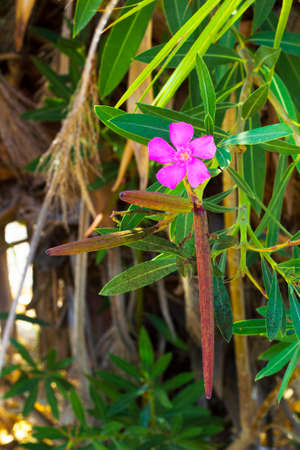 Pink flower with pods on tree branch Oleander. Nerium oleander pink flower summer blossom