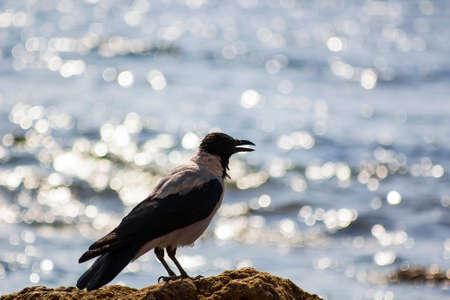 Silhouette black and gray bird like crow on beach near sea. Silhouette Corvus cornix bird, hooded crow, hoodie, Scotch crow, Danish crow, grey crow, mist crow, Nebelkrähe Stock Photo