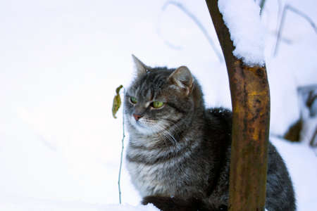 Beautiful fluffy gray cat with green eyes sitting in snow Stock Photo