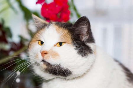 Portrait of beautiful calico cat with orange and spotted nose