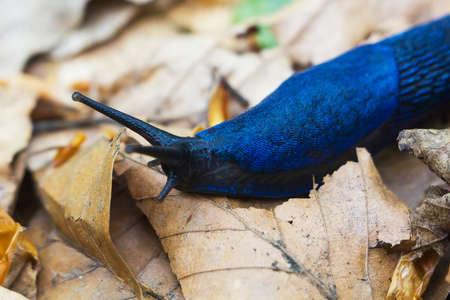 Portrait Blue Bielzia coerulans slug crawls over dry leaves in forest. Carpathian blue slug or blue slug selective focus