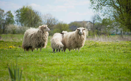 Grazing white sheep with black spots on muzzle. Herd of sheep on green meadow