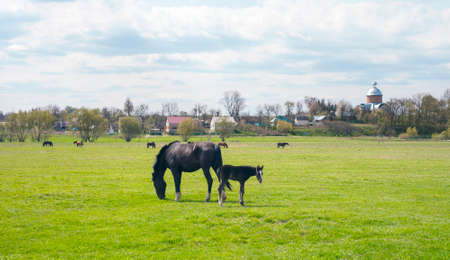 Rural landscape with horses and foal grazing on green meadow, village in distance Stock Photo