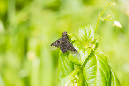 Black fly Hemipenthes morio on green blurred background Stock Photo