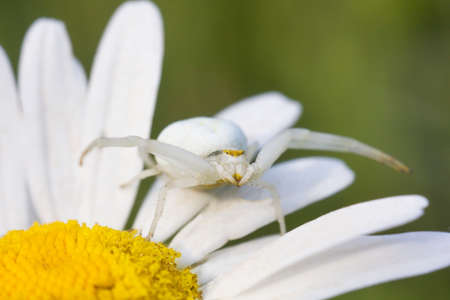 White flower crab spider misumena vatia sits on daisy flower stock stock photo white flower crab spider misumena vatia sits on daisy flower and waits for prey mightylinksfo