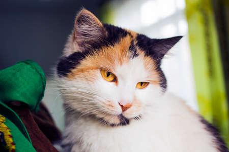 Portrait of beautiful calico cat with yellow eyes