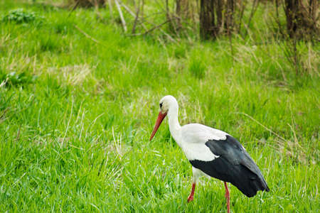 Stork walking in green field, scene of wildlife