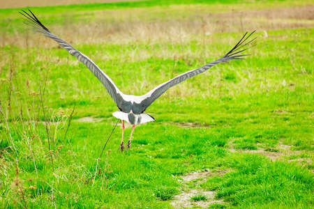 Stork soars above green field soft focus Stock Photo