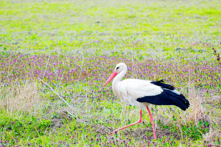 Stork walking in green field with violet wild flowers