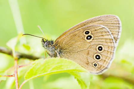 Butterfly Ringlet sits on green leaf. Aphantopus hyperantus butterfly side view, selective focus
