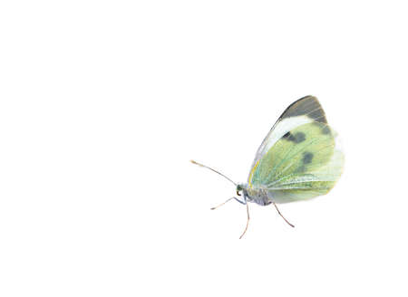 White butterfly Pieris brassicae or cabbage butterfly isolated on white background