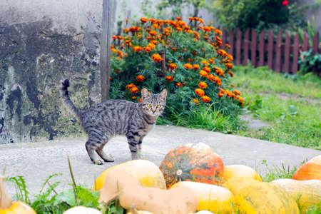 Tabby cat stands near harvest of pumpkins in yard