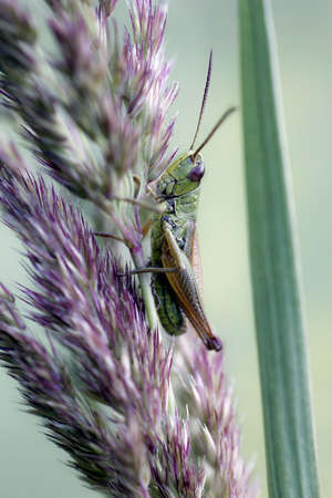 Small locust sits on plant, green blurred background