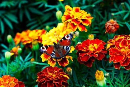 European peacock (Aglais io) butterfly sits on orange flower Tagetes, top view Stock Photo