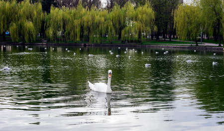 White swan on lake in spring city park. White swan swimming in pond Stock Photo - 101648079