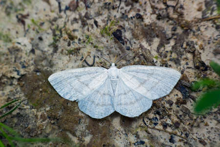 White little butterfly nocturnal Laelia moth sitting on ground, top view Stock Photo