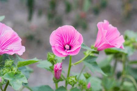 Lavatera trimestris pink flower. Pink mallow flowers in summer garden Stock Photo