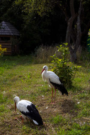 Pair of white storks on green grass, summer day in village