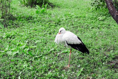 White Stork on green grass, summer day