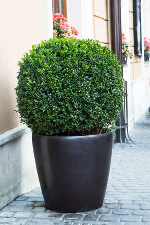 Big evergreen tree Buxus sempervirens (common box, European box, or boxwood) in pot near house