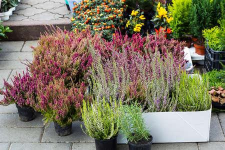 Calluna vulgaris bloeit in potten die in het tuincentrum worden verkocht (bekend als heide, leng of gewoon heide bloeiende planten). Mooie roze en paarse Heather-bloemen