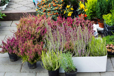 Calluna vulgaris flowers in pots sold in garden center (known as common heather, ling, or simply heather flowering plants). Beautiful pink and purple Heather flowers