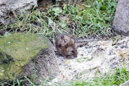 Gray rat near garbage on street. Mouse eats, scene of wild city life Stock fotó