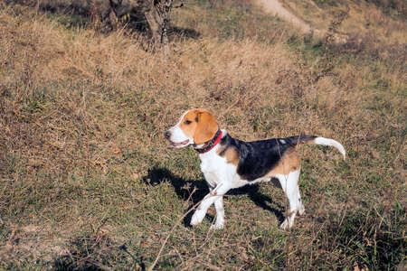 Beagle in autumn forest. Happy dog playing in sunny fields Banque d'images