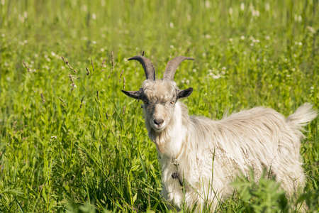 White horned goat grazing on spring sunny green meadow