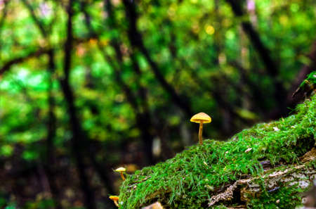 Small yellow mushrooms in enchanted forest. Little fungus growing in green moss. Tiny toadstool in summer sun light woodland Фото со стока
