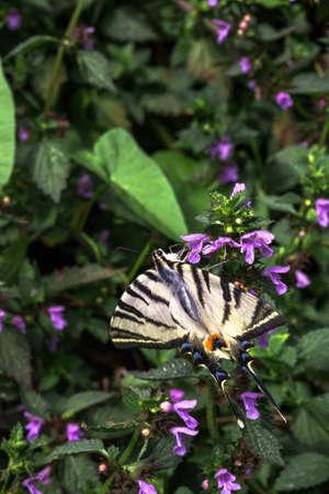 Scarce swallowtail butterfly. Papilio machaon on Lamium purpureum purple flowers. Iphiclides podalirius podalirius or pear-tree swallowtail on Red Deadnettle red plant at summer garden