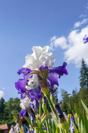 Purple and white Iris hybrida hort. Deltaplane growing in spring garden by blue sky, side view Фото со стока - 118113183