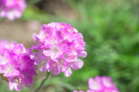 Armeria maritima pink flowers. Sea thrift flowering plant growth in spring garden, sunny light day Фото со стока