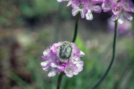 Tropinota hirta hairy beetle on Armeria pink flower
