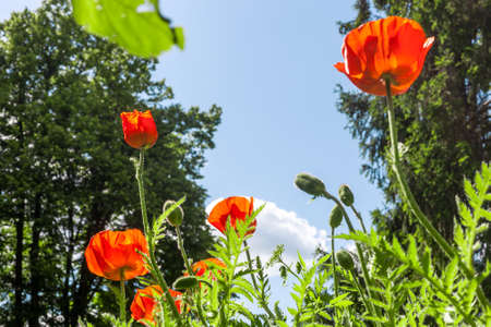 Red poppies flowers growing in green grass at spring cottage garden by blue sky. Beautiful Poppy in summer field at sun light day Фото со стока