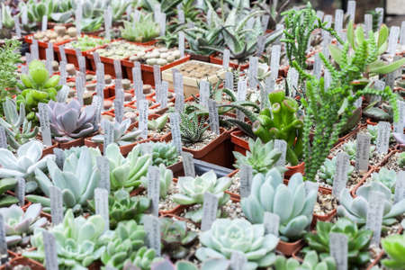 Many different cacti in flowerpots mix selling in flowers store, top view. Garden center with lot potted small cactus plants sale on flower market. Various succulent in pots retail