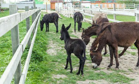 Herd of donkeys grazing in spring pasture and funny baby foal