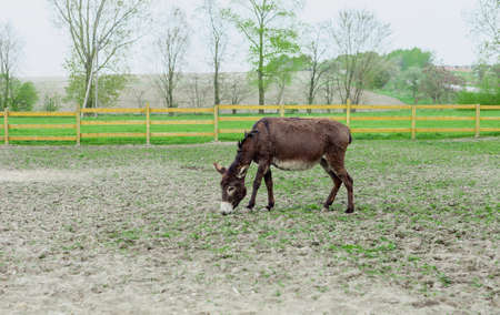Donkey grazing in spring pasture by wooden fence Фото со стока - 118113910