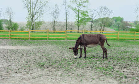 Donkey grazing in spring pasture by wooden fence