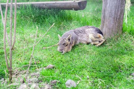 Patagonian Mara in green grass. Dolichotis patagonum or Patagonian cavy funny animal
