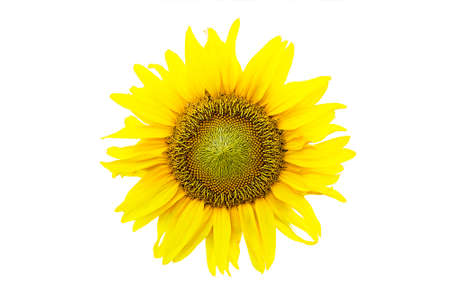 Yellow sunflower isolated on white background. Bright decorative sun flower head with seed Фото со стока