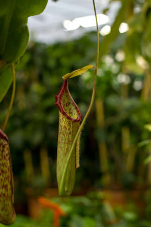 Predatory plant Nepenthes. Tropical carnivorous pitchers plants. Monkey cup pitcher flower growth
