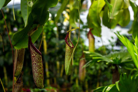 Predatory plant Nepenthes. Tropical carnivorous pitchers plants. Monkey cup pitcher flower growing