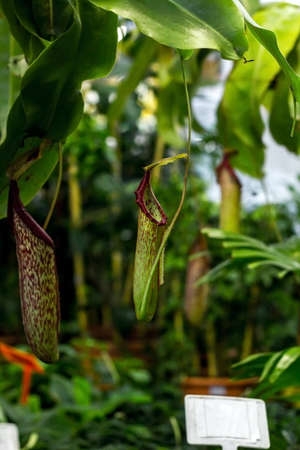 Predatory plant Nepenthes. Tropical carnivorous pitchers plants. Monkey cup pitcher flower grow Фото со стока