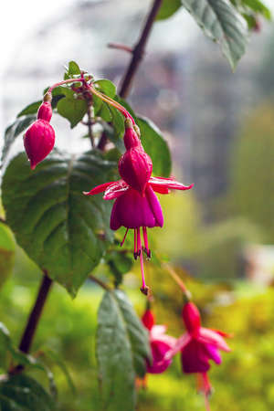 Pink Fuchsia flowers growing on bush in ornamental garden. Fuchsia magellanica hanging on tree branch in rain drops