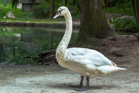 White swan with black webbed feet standing near pond, summer light day